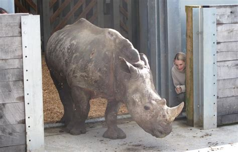 damaged shed leads to rumours of rhino escape the