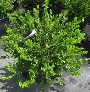 small l shade shrubs for shade carolyn s shade gardens