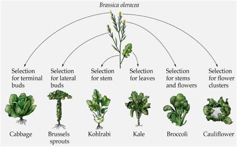 6 vegetables that are the same plant kale brussels sprouts cauliflower and cabbage are all