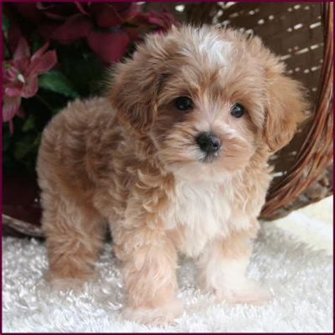 apricot maltipoo puppies for sale maltipoo puppy 4 sale maltepoo maltese poodle puppies iowa