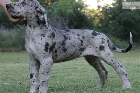 merle great dane puppies for sale pin merle great dane for sale on