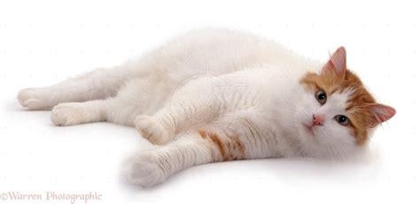 turkish van information health pictures training pet paw