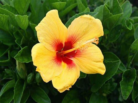 fiore ibisco significato fiore di ibisco significato fiori caratteristiche dei