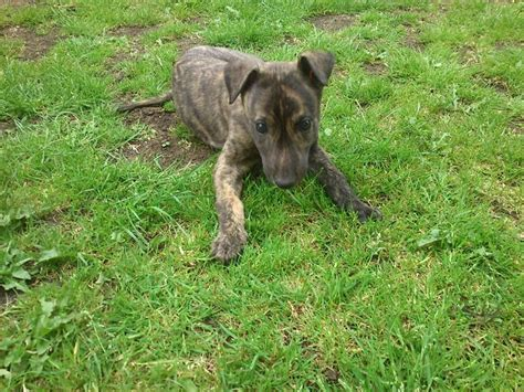 greyhound for sale greyhound puppy for sale peterborough cambridgeshire pets4homes