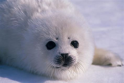 white seal pup view topic harp seal pup chicken smoothie