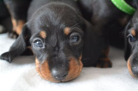 hair daschund puppies miniature smooth haired dachshund puppies birmingham west midlands pets4homes