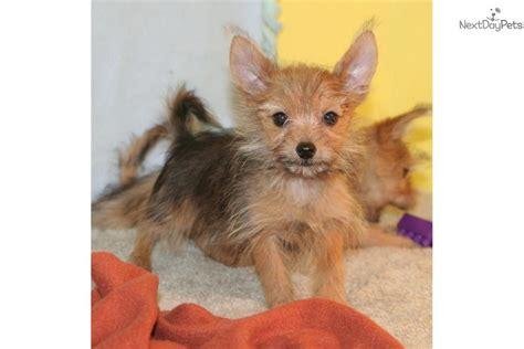 yorkies for sale in nebraska yorkiepoo yorkie poo puppy for sale near grand island nebraska 7baca39a a791