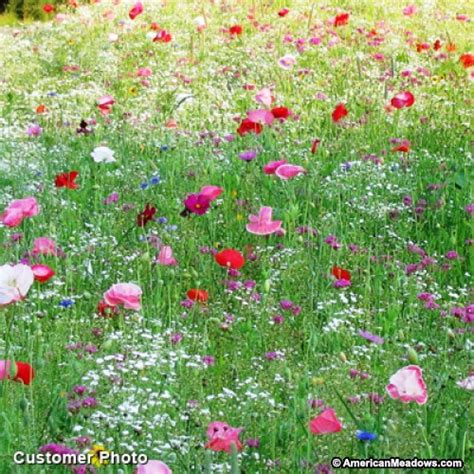 pacific northwest wildflower seed mix american meadows
