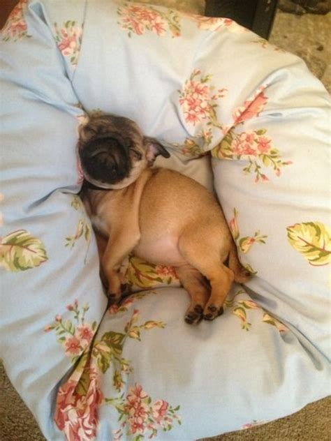 baby pugs sleeping 182 best images about pugs on pug up portraits and black pug