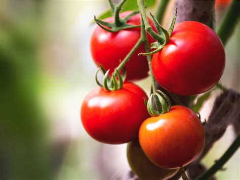 can dogs eat cherry tomatoes 28 things dogs should never eat iflscience