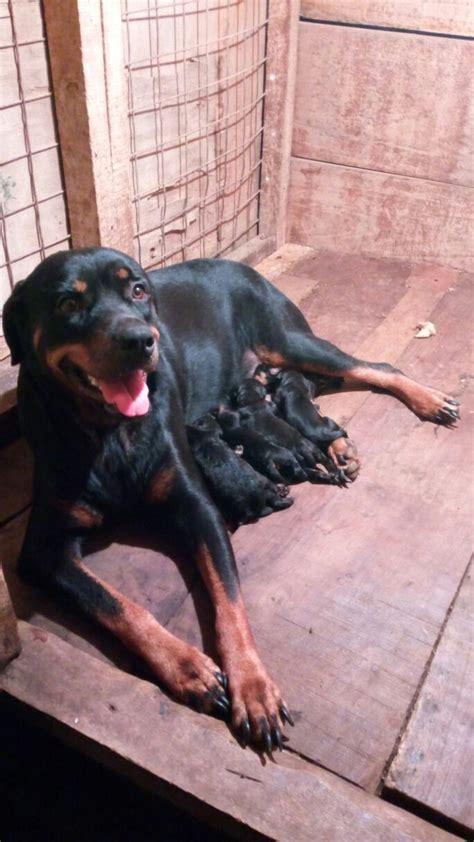 blockhead rottweiler selling fast 6weeks breed boxhead rottweiler puppies pets nigeria
