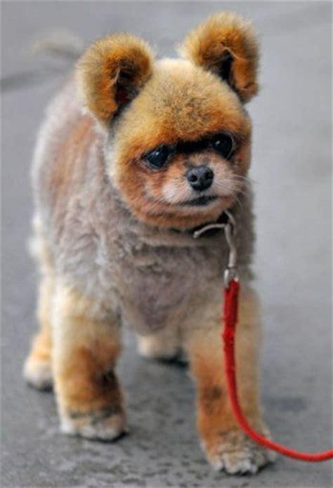 good razor for teddy bear cut 89 best images about pomeranian looks cuts on pinterest