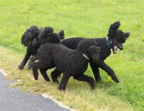 central indiana poodle rescue indiana standard poodle breeder central in silver