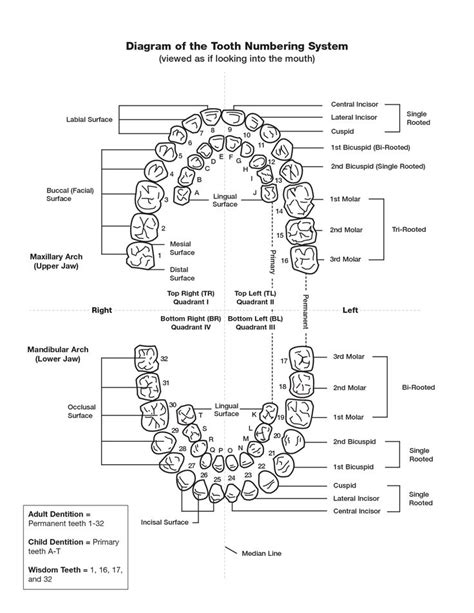 printable numbers pdf tooth numbering chart pdf scope of work template