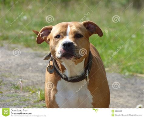 standing pit guarding pit bull stock photo image 53903663