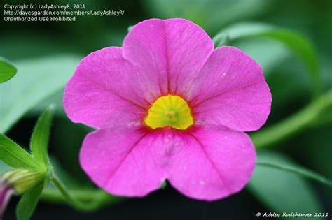 plantfiles pictures calibrachoa million bells superbells pink calibrachoa by rosinabloom