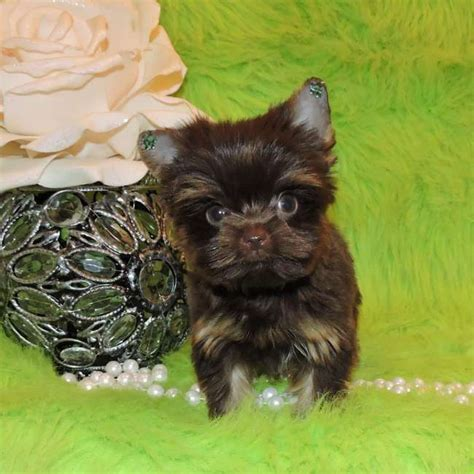 price of yorkie puppies without papers chocolate teacup yorkie puppy for sale tiny teacup yorkies sale