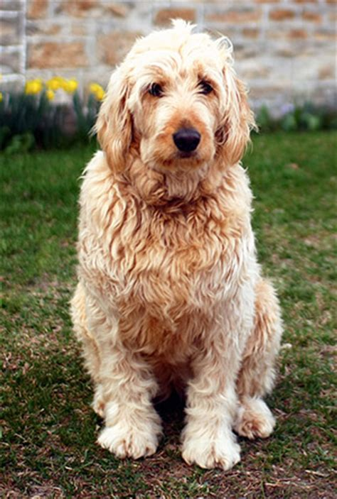 Goldendoodle Shed by Is A Goldendoodle The Right For You Heartland