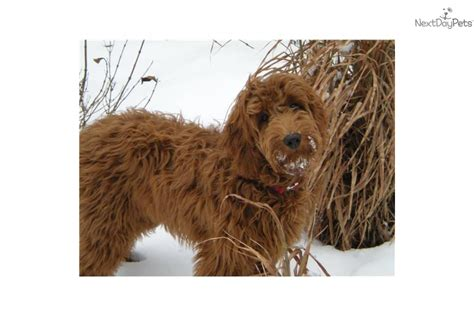 goldendoodle breeders indiana goldendoodle puppies indiana breeds picture