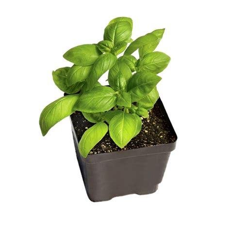 buy sweet basil herb plant    price