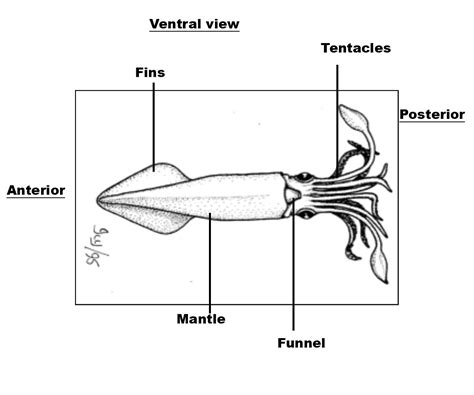 squid labeled diagram squid exterior synergy middle school science 08 09