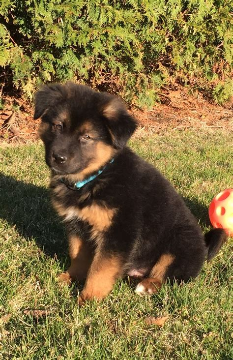 german shepherd puppies alaska 963 best alaskan malamute images on