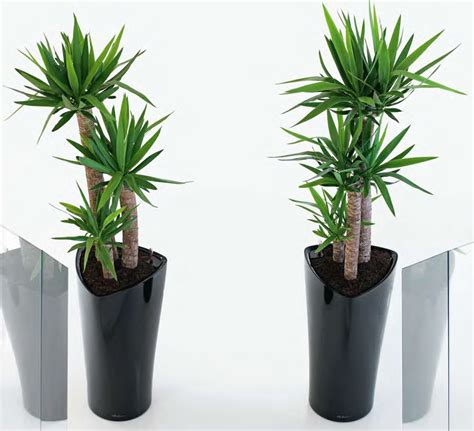 large artificial indoor plants flowers trees yukka yucca plants with delta planter gaddys plant hire