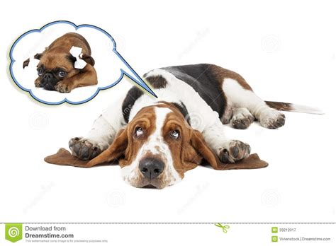 dreams about dogs basset dreams of small brabant griffon royalty free stock photography