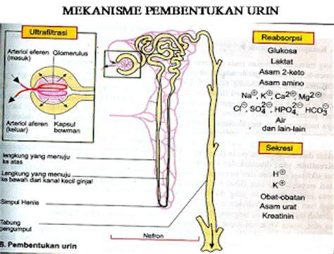 Fisiologi Manusia Edisi 8 By Lauralee Sherwood medicine s pecinta kehidupan fisiologi pembentukan urine