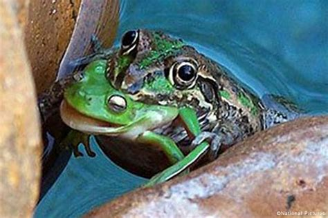 it s a eat world it s a frog eat frog world metro news