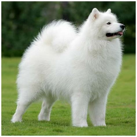 samoyed breed samoyed pictures rescue puppies breeders temperament price animals breeds