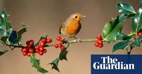 holly  festive berry life  style  guardian