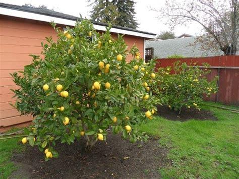 fruit trees in backyard lemon fruit trees in the backyard time to pruning fruit