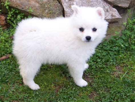 american eskimo puppy for sale miniature american eskimo miniature american eskimo puppy breeds picture
