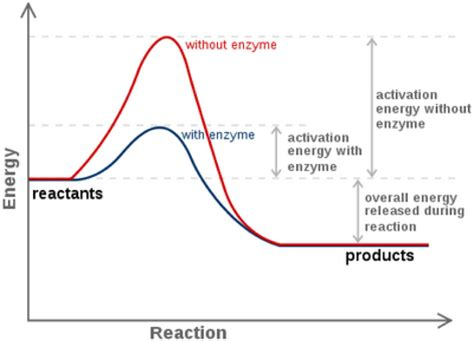 carbohydrates enzymes enzymes and reaction rates