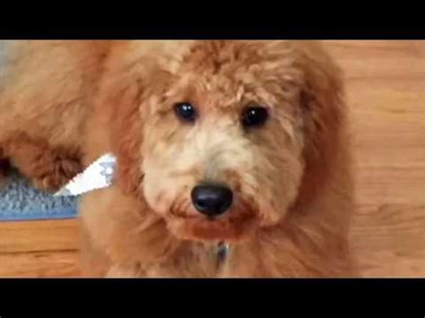 pookie doodle puppy sings his song goldendoodle puppy