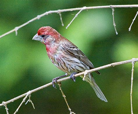 house finch life cycle house finch red headed sparrow pictures to pin on