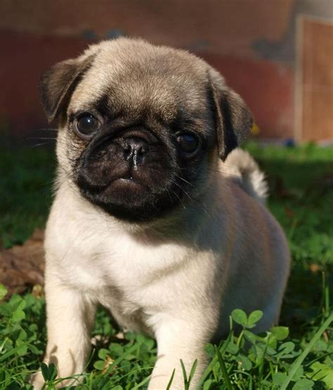 how much are puppy pugs top 25 best pug puppies ideas on pug puppies baby black pug and