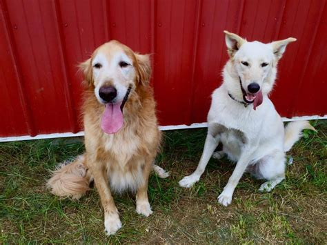 great lakes golden retriever rescue dakotamayson great lakes golden retriever rescue