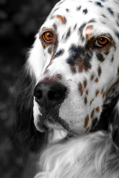 setter dog traits 91 best images about dog breeds on pinterest