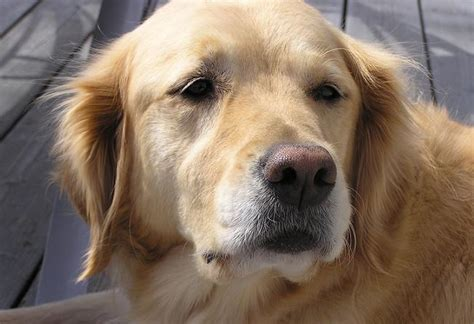 golden retriever thyroid problem symptoms insights into veterinary endocrinology managing