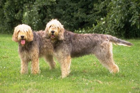 otterhound puppies for sale otterhound puppies for sale from reputable breeders