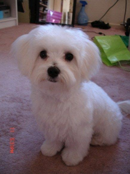 maltese haircut styles pictures 25 best ideas about maltese haircut on