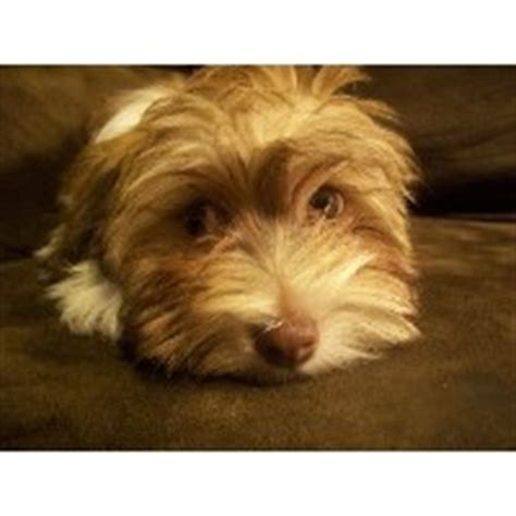 steel city havanese havanese breeders in pennsylvania freedoglistings