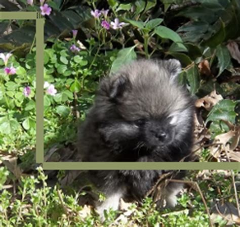 wolf pomeranian puppies for sale the gallery for gt wolf pomeranian puppies for sale
