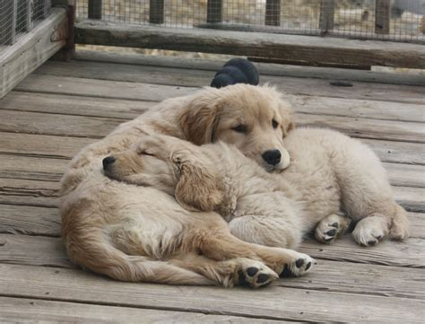golden retrievers for sale in pa golden retriever puppies for sale erie pa photo