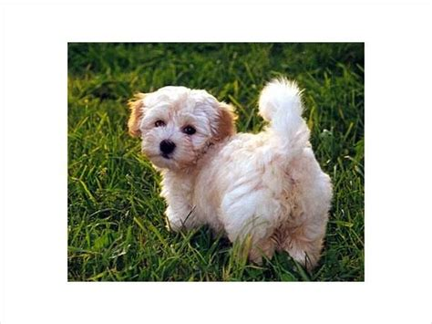 teacup havanese dogs teacup havanese puppy havanese