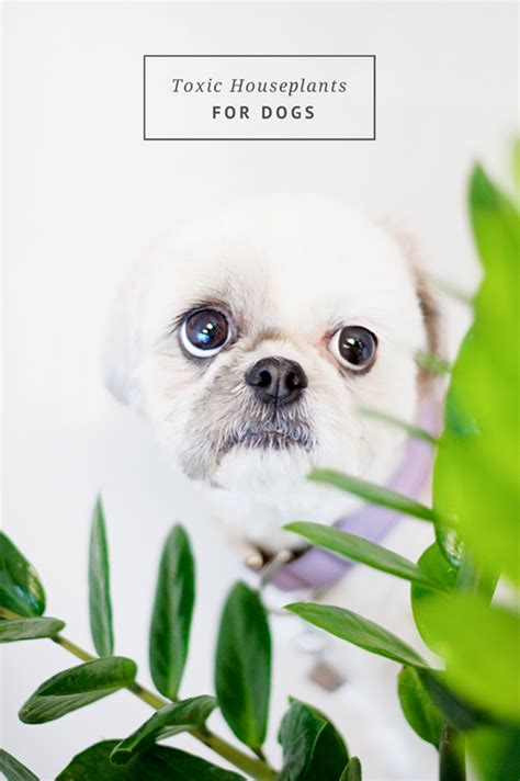 poisonous house plants for dogs pretty fluffy