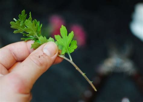 Pupuk Untuk Bunga Krisan cara menanam bunga krisan dalam pot bibitbunga