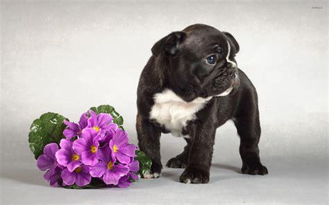 black bulldog puppy black bulldog puppy near the purple bouquet wallpaper animal wallpapers 50640